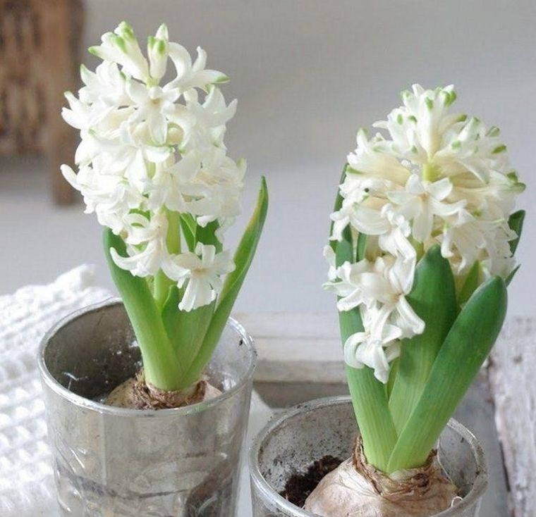 white hyacinth flowers indoors