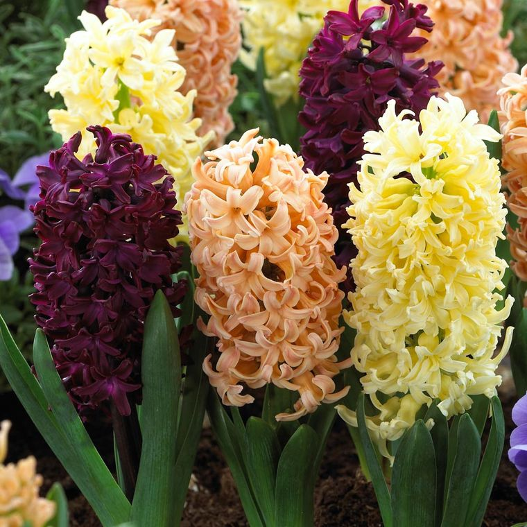 hyacinth flowers different colors