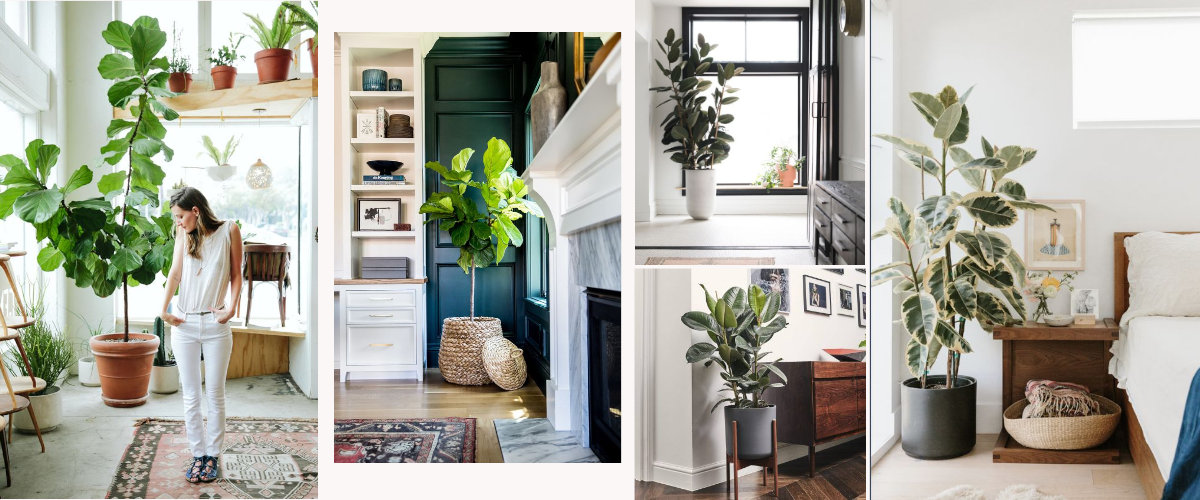 Ficus Lyrata and Ficus Elastica